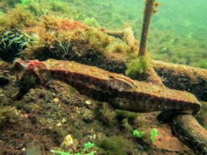 Un hippocampe trouvé sur certains sols, à l'abri des baigneurs