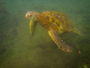 tortue marine (plus petite que les tortues terrestres)