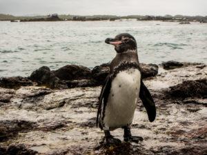 Un pingouin venu d'Antarctique et qui remonte très au nord à la belle saison